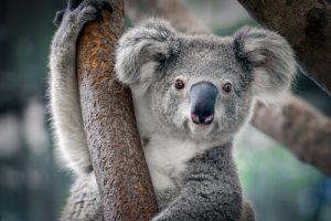 koala and wildlife in Australia